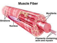 a muscle fiber